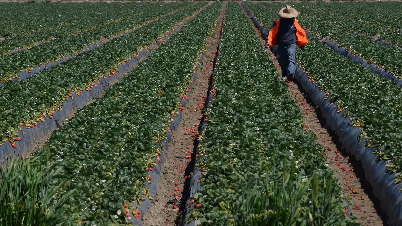 Trabajador agrícola en la cosecha de fresas.