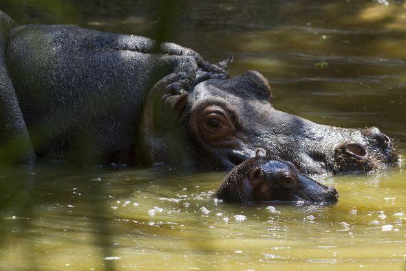 Y aunque la hipopótamo luce cansada a sólo nueve dí...