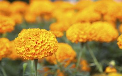 salud flor de cempasuchil cancer