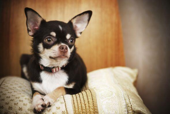 Chihuahua. ¡Podrían vivir entre 12 y 20 años! Son un poco nerviosos pero...