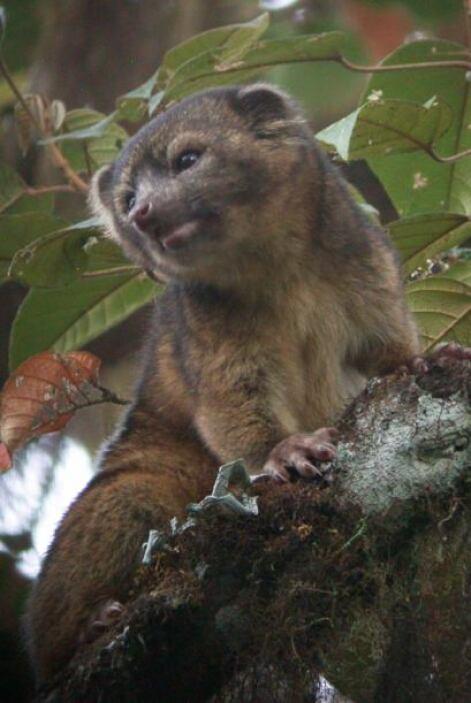 El resultado: el olinguito (Bassaricyon neblina), la primera especie de...
