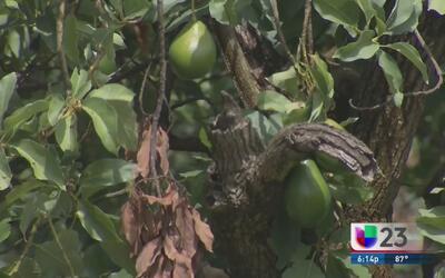 Escarabajo Ambrosia pone en peligro las plantaciones de aguacate