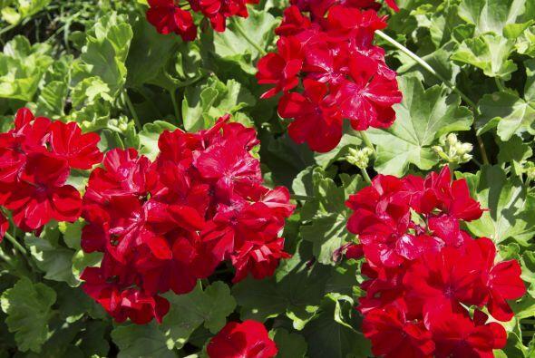 Longacre nos dijo que estas plantas aman el sol y siempre deben ser rega...