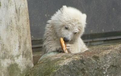 Conoce a Quintana, el cachorro de oso polar del zoológico de Múnich