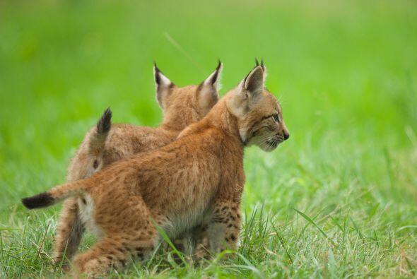 Dos hermanos linces fueron captados jugando  en la reserva natural Grana...