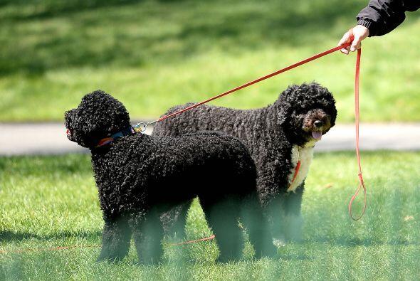 Los perros de agua portugueses que son parte de la familia Obama se port...