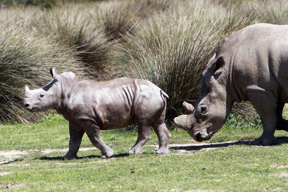 Los rinocerontes se comunican por medio de una gran variedad de sonidos,...