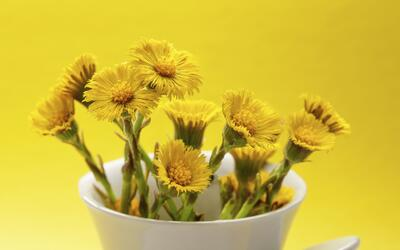 salud Coltsfoot