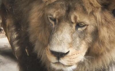 Indignación por sacrificio de dos leones que atacaron a un joven que int...