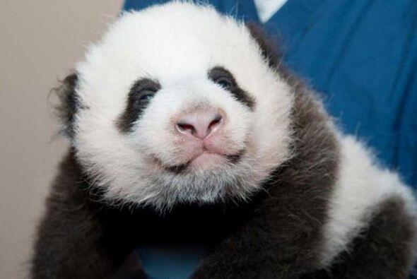 El nuevo cachorro de panda del Zoológico Nacional de Washington,...