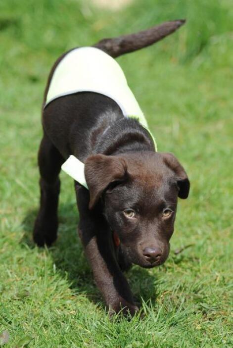 Se trata de la hermosa perra Labrador color chocolate, Rosie, que fue en...