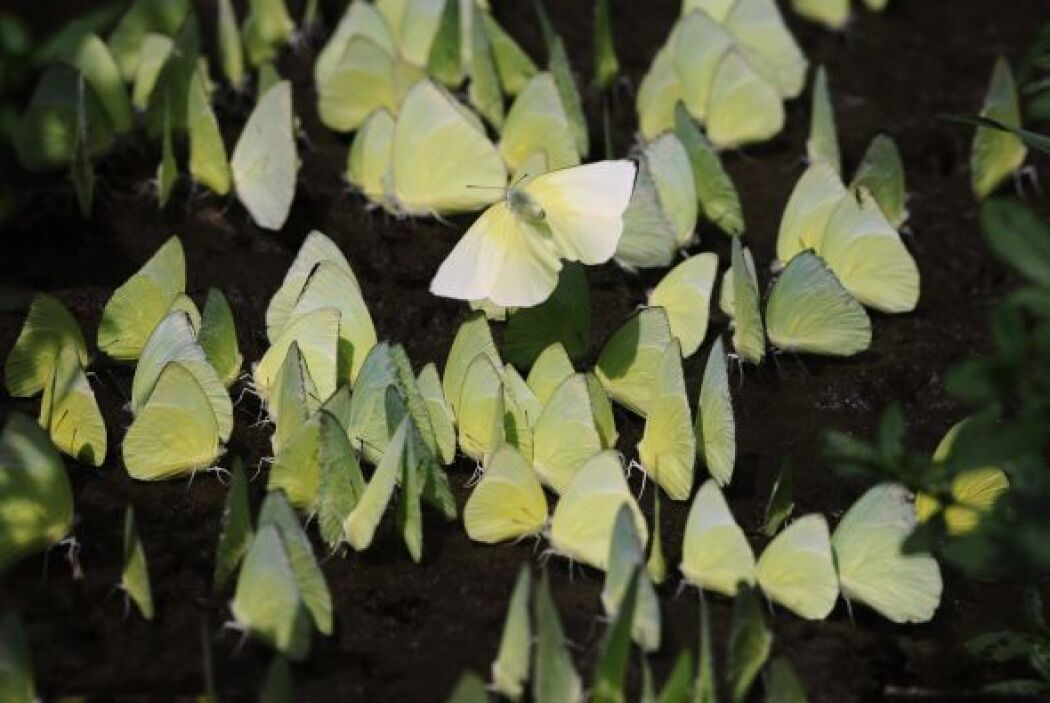 Mariposas amarillas en un santuario de vida silvestre en las afueras de...