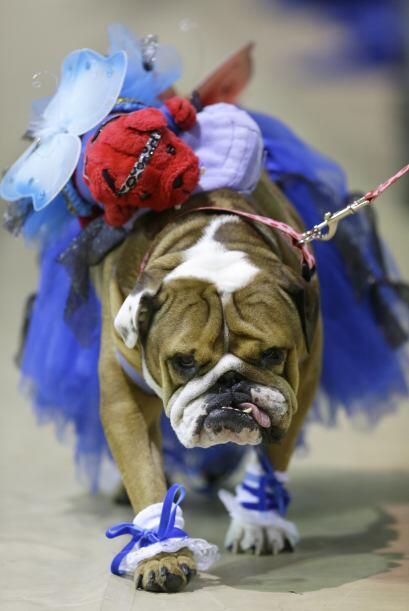 A pesar de que no todos ganaron premio, los perros desfilaban con mucha...