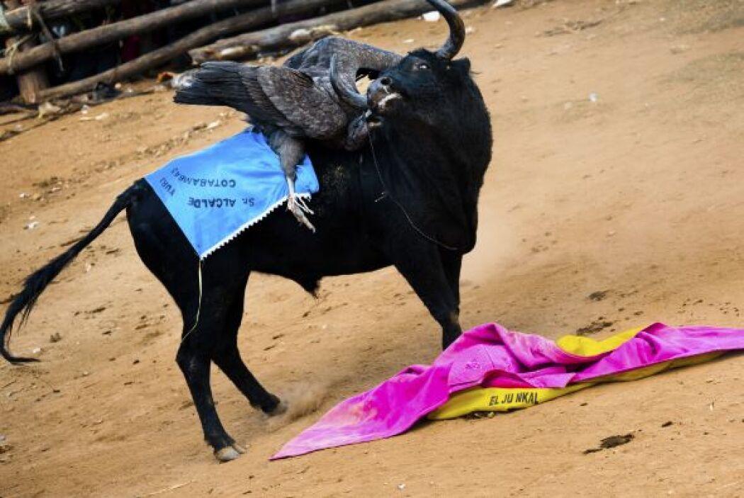 El toro suele ser un animal salvaje, criado en los breñales y en cuya ca...