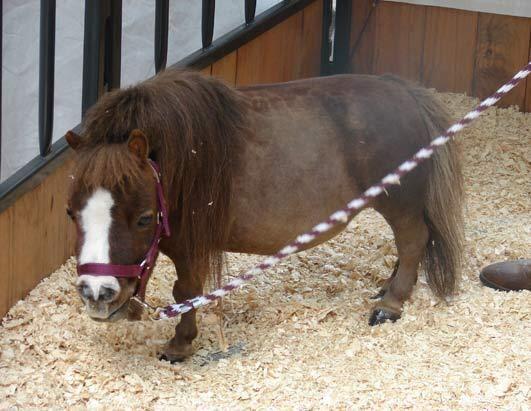Pulgarcita es la poseedora de un récord Guinness: es el caballo más pequ...