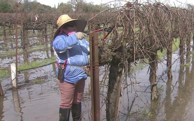 Trabajadores agrícolas de Sacramento siguen laborando pese a inundaciones