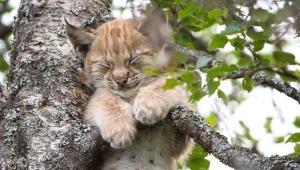 ¡Shhh! Bebé lince durmiendo... ¡en un árbol!