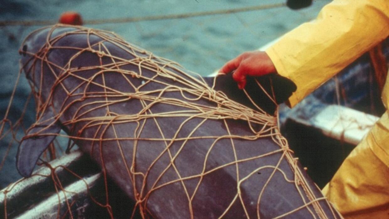 Resultado de imagen de marsopa vaquita del de enmalle