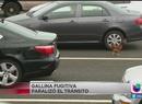 ¡Gallina prófuga causó revuelo en CA!
