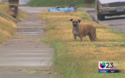 Perros callejeros en Dallas son un gran problema