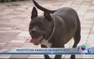 Investigan prostitución de animales en Puerto Rico