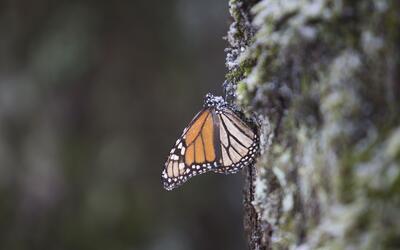 ¿Sobrevivirán las mariposas monarca congeladas en México?