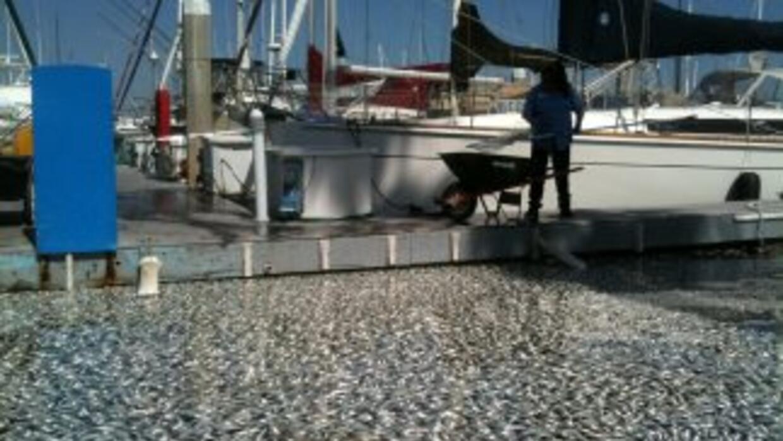 Millones de anchoas cubrieron la Bahía King en Redondo Beach el 8 de mar...