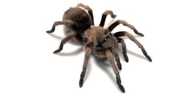Descubren 14 nuevas especies de  tarántulas en Estados Unidos   Tarantu...