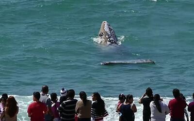Ballena gris da gran espectáculo en playas californianas