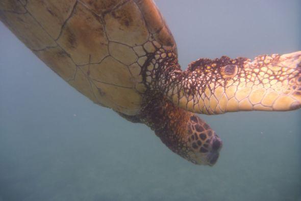 En la costa Kohala, el Gordo también pudo nadar con tortugas.