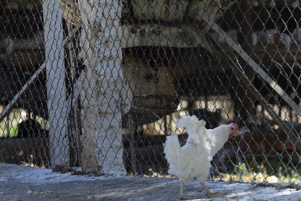 La gripe aviar es una enfermedad infecciosa viral que afecta a las aves,...