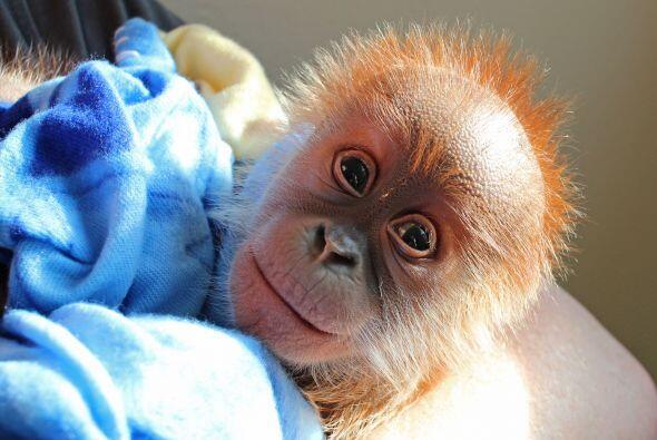El zoológico de Berlín junto con el Programa Europeo de Especies Amenaza...