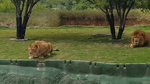 En video: Un leona se lanza hacia unos turistas en un parque de México