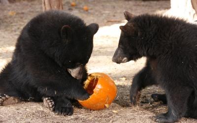Bearizona en Halloween