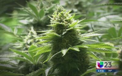 Encuesta indica que la gente votaría por el no a la marihuana medicinal...
