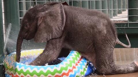 Como un niño, este elefante de dos meses de edad disfruta del agu...