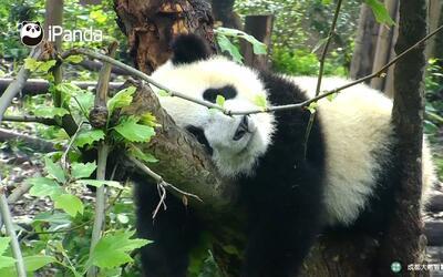 Este panda hizo las delicias de los visitantes mientras dormía
