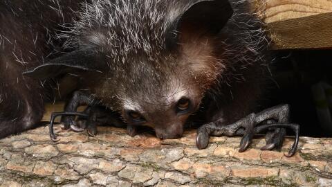 La rata-topo desnuda: un mamífero de sangre fría que sobrevive 18 minuto...
