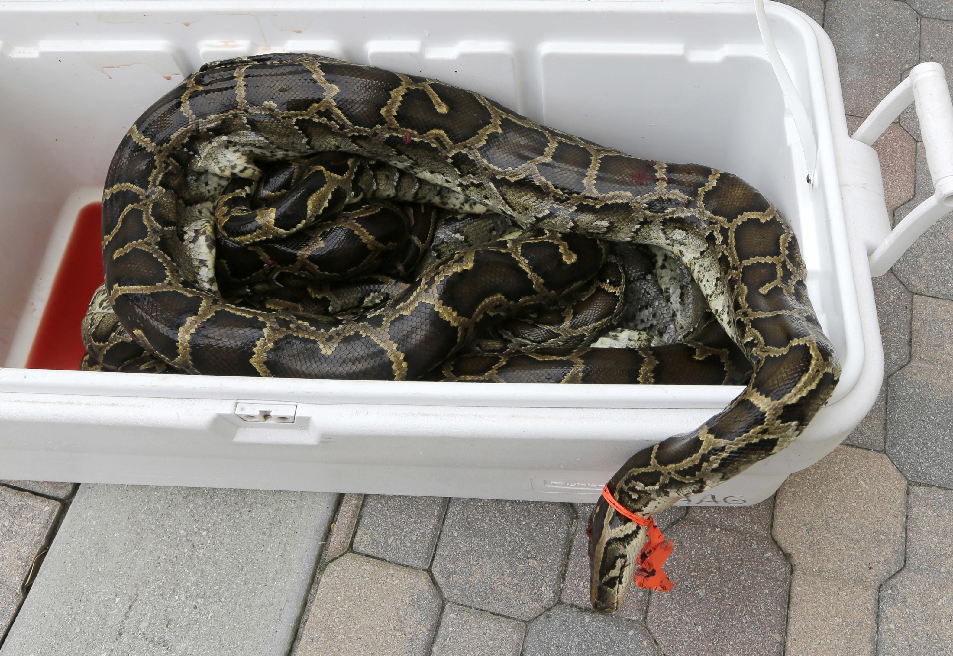 Capturan 106 ejemplares en caza de serpientes pitón en Florida ...