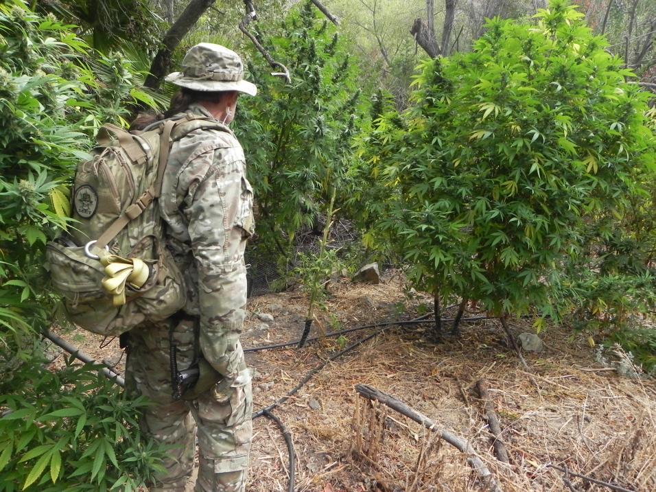 La marihuana legal suponía un golpe a los narcos en EEUU... pero ...