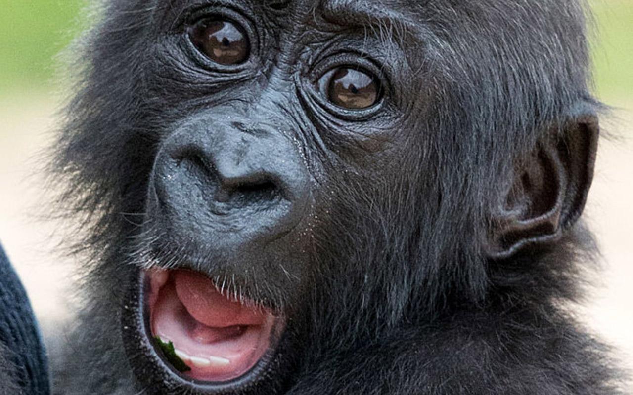 Descubren por qué los simios no pueden hablar a pesar de tener ...