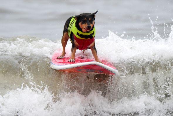 Los perros se dedicaron a surfear y a mostrar sus mejores habilidades en...