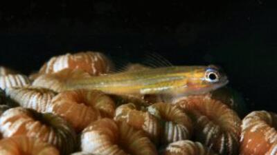 El pequeño gobio linterna (UICN)