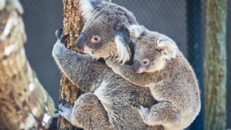Los koalas, marsupiales de Australia, tienen una cría a la vez. C...