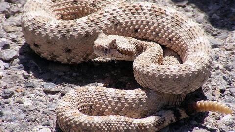 Una serpiente cascabel exhibe su defensa en el extremo de su cola.