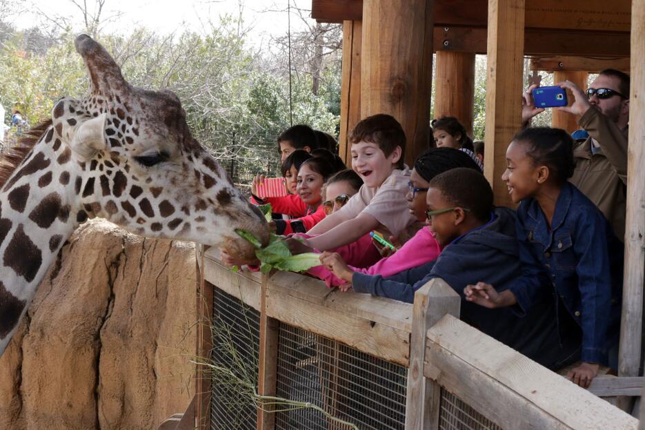 Dan la bienvenida a una jirafa en el zoológico de Dallas IMG_5492-Spring...
