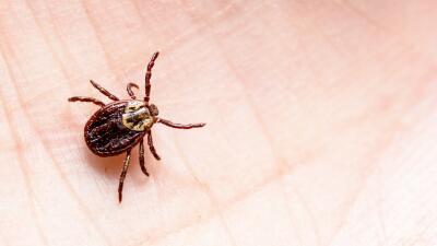 No ignores la mordedura de una garrapata: podrías contraer estas enfermedades