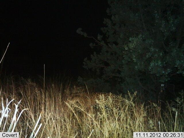 Imágenes de Jaguares captadas por cámaras de sensores en la frontera de...