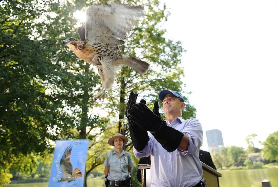 Este halcón fue liberado en 2010 desde el Central Park tras haber sido r...