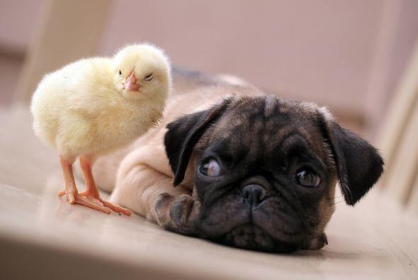 KFC es el nombre del polluelo, ¡y le gusta estar en lugares cálidos!